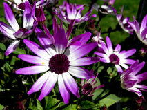 Bi-Colored Purple Senetti Daisies Stock Photo