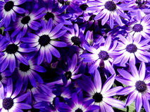 Bi-Colored Purple Senetti Daisies Stock Photos