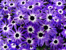 Bi-Colored Purple Senetti Daisies Royalty Free Stock Images