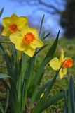 Bi-colored trumpet daffodils in full sun. Bicolored trumpet daffodils in full sun with blue sky background Royalty Free Stock Image