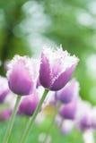 Bi-colored tulips in purple and white Stock Photo