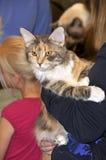 Bi colour Ragdoll cat Royalty Free Stock Photo