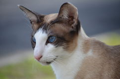 Bi-colour siamese. Blue eyed bi-colour siamese male stock photos