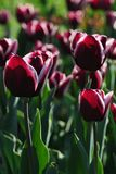 Bi coloured tulip kind Fontaine Bleau, also called Triumph tulip, dark red or violet colour with white petals border. Sunbathing in afternoon sunshine royalty free stock photos