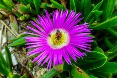 Bi djupt in i en purpurfärgad blomma Arkivfoton
