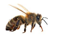 Bi eller honungsbi i latinska Apis Mellifera arkivfoto