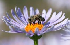 Bi eller honungsbi i latinska Apis Mellifera på blomman royaltyfri foto