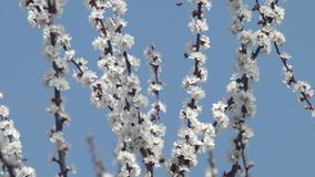Bi för blomningfruktträdaprikos som pollinerar blommor lager videofilmer