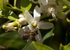 Bi för citronträd Royaltyfri Bild