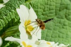 Bi-fluga Beefly Bombylius som är viktig på primula Royaltyfri Fotografi