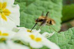 Bi-fluga Beefly Bombylius som är viktig på primula Arkivbild