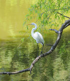 BI - Great Egret 7 Stock Images