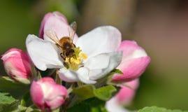 Bi i äppleblomning Royaltyfri Fotografi