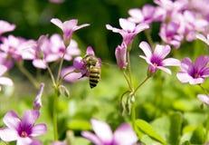 Bi i blomma Arkivfoton
