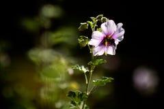 Bi i blomma Royaltyfri Bild