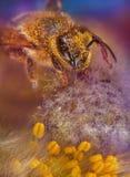 Bi i blomma Arkivbild