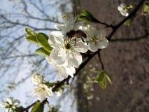 Bi i blomma Arkivbilder
