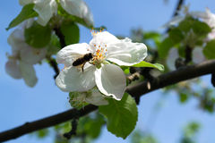 Bi i blomman arkivbild