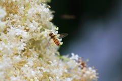 Bi i blommor Arkivbilder