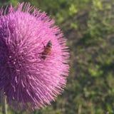 Bi i en blomma Royaltyfria Bilder