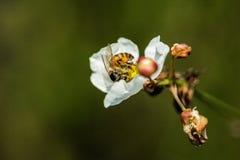 Bi in i en blomma Royaltyfri Fotografi