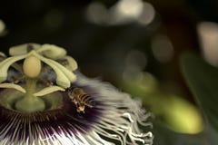Bi i en blomma Royaltyfri Bild