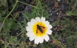 Bi i en blomma Arkivbild