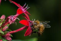 Bi i en röd blomma fotografering för bildbyråer