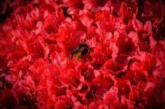 Bi i en röd storm av blommor arkivbilder