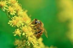 bi i förgrunden Arkivfoto