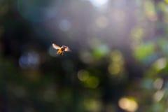 Bi i flyg Fotografering för Bildbyråer