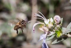 Bi i flykten precis för annalkande pollen från en blomma Royaltyfri Foto