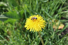 Bi i gräset Arkivbild