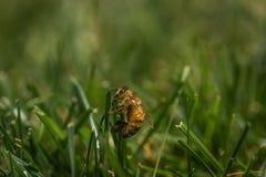 Bi i gräset på en varm dag Arkivfoto