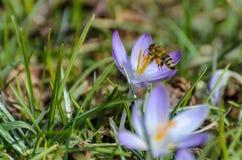 Bi i landninginställning på purpurfärgad krokus Arkivfoto