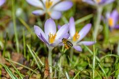 Bi i landninginställning på purpurfärgad krokus Arkivbild