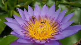 Bi i lotusblomma Royaltyfria Foton