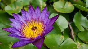 Bi i lotusblomma arkivfoton
