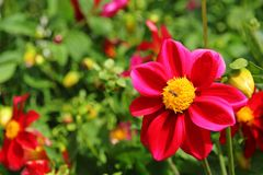 Bi i rosa blommor Arkivfoto