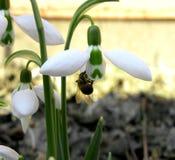 Bi i snödroppe Fotografering för Bildbyråer