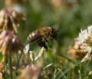 Bi i växt av släktet Trifolium Arkivfoton
