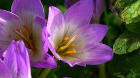 Bi inom en blå blomma i September stock video