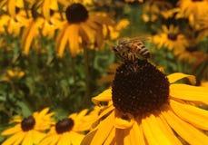 Bi med blommor Arkivfoto