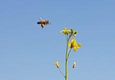 Bi med gul blomma 2 Fotografering för Bildbyråer
