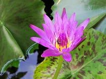 Bi med rosa lotusblomma Fotografering för Bildbyråer