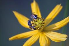 Bi och blomma. Fotografering för Bildbyråer