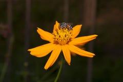 Bi och blomma. Royaltyfria Bilder