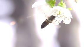 Bi och blomma lager videofilmer