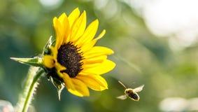 Bi och blomma Arkivfoton