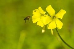 Bi och blomma fotografering för bildbyråer